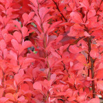 Berberys Orange Rocket – drobne liście i kolce berberysu wczesną jesienią, kolorystyka purpurowo-pomarańczowa