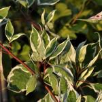 Dereń biały Elegantissima – pstre, intensywnie zielone liście, z dużym, nieregularnym, białym obrzeżeniem, pędy jesienią przebarwiają się na czerwono