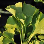 Miłorząb Mariken – piękne, wachlarzowate i finezyjnie karbowane zielone liście, jesienią złocistożółte