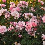 Róża Bonica – liczne kwiatostany o jasnoróżowym kolorze, kwiaty pełne o średnicy 5-6cm