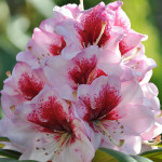 Różanecznik Danuta – piękny kwiatostan osadzony na łodydze z zielonymi, długimi, skórzanymi liśćmi, kwiaty jasnoróżowe z ciemnym rysunkiem na górnym płatku