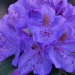 Różanecznik Catawbiense Grandiflorum – szerokostożkowy kwiatostan wkomponowany w podłużnie eliptyczne, ciemnozielone, lekko błyszczące liście, kwiaty dość duże, jasnofioletowe, z wyraźnym, czerwonożółtym rysunkiem na górnym płatku