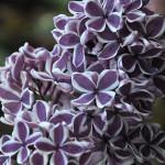 Lilak Sensation - pojedyncze, purpurowe kwiaty, z wyraźnym białym obrzeżeniem płatków, pachnące, tworzą luźne, wydłużone wiechy - odmiana ceniona za oryginalną barwę kwiatów