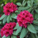 Różanecznik Nowa Zembla – wierzchołkowate kwiatostany osadzone na łodygach z ciemnozielonymi, błyszczącymi, lekko pofalowanymi na brzegach liśćmi. Kwiaty rubinowoczerwone, z wyraźnym, brązowoczerwonym rysunkiem na górnym płatku