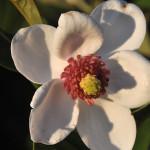 Magnolia Sieboldii – biały, sześciopłatkowy kwiat magnolii z wyraźnym, czerwonym środkiem