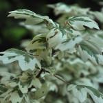 Klon polny Carnival – gałązka klonu Carnival z dwukolorowymi zielonymi liśćmi o szerokim kremowym obrzeżu, w zarysie okrągławe, z trzema lub pięcioma zaokrąglonymi klapami