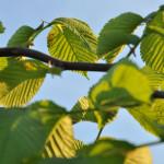 Wiąz Camperdownii – oświetlone popołudniowym, letnim słońcem duże i szorstkie, gęsto pokrywające pędy, liście wiązu, gałęzie i liście wygięte do dołu i zwisające