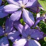 Powojnik wielkokwiatowy – grupa płaskich, dużych, jasnofioletowych kwiatów jednej z odmian powojnika wielkokwiatowego