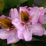 Różanecznik Mrs Anthony Waterer – kwiaty duże, szeroko otwarte, jasnoróżowe, z wyraźną i bardzo dużą zielonożółtą plamką na całym górnym płatku tworzące piękne kwiatostany