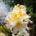 Azalia Persie – piękne delikatne czysto białe kwiaty, ze złotożółtą plamką na górnym płatku i lekko pofalowanym brzegiem, zebrane po kilka sztuk w zwarte, kuliste kwiatostany