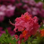 Azalia Juanita – gałązki zarówno z kwiatami w pąku, prawie czerwonymi, jak i otwartymi o kolorze ciemnoróżowym z wyraźną, złotożółtą plamką na górnym płatku, na brzegach lekko pofalowane