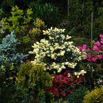 Grupa roślin - w centralnym miejscu świerk kłujący Białobok, o młodym przyroście w kolorze kremowym, po lewej świerk srebrny Glauca Gobosa, a także kwitnące azalie, świerk wężowy i cyprysiki