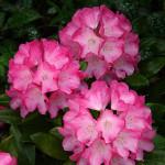 Różanecznik Daniela – rozwinięte kwiaty w środku bardzo jasnoróżowe, z ciemnoróżowym, kontrastowym, lekko pofalowanym brzegiem, zebrane po kilkanaście sztuk w efektowne, kuliste, kwiatostany