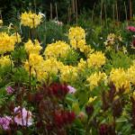 Grupa azali i rododendronów w różnorakich kolorach