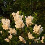 Lilak pospolity Mme lemoine – duże, pełne, czystobiałe (kremowe przy wieczornym słońcu) kwiaty o szerokich płatkach, w gęstych kwiatostanach