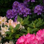 Grupa różaneczników w trzech intensywnych kolorach – różowym, kremowożółtym oraz ciemnofioletowym