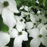 Dereń kousa – czteropłatkowe kremowobiałe kwiaty pośród szerokoeliptycznych, ciemnozielonych liści
