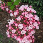 Kalmia Raspberry Glow – grupa karbowanych i stożkowatych, przypominających chińskie lampiony, ciemnoróżowych pąków kwiatowych. Otwarte, jasnoróżowe kwiaty o płatkach tworzących koronę w kształcie filiżanki