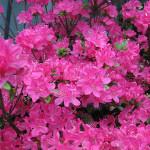 Azalia japońska – intensywnie różowa plama kwiatów azali japońskiej