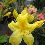 Azalia – pojedynczy, intensywnie żółty kwiat azali, na drugim planie nierozwinięte jeszcze pąki