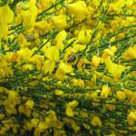 Szczodrzeniec Allgold - zielone gałązki szczodrzeńca obsypane intensywnie żółtymi kwiatami