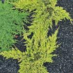 Jałowiec płożący Golden Carpet, jałowiec rozesłany Procumbens Nana - po lewej płożące się po ziemi pędy z zielononiebieskimi, krótkimi igłami. Centralnie złocistożółte wałeczkowate pędy o kształcie gwiazdy