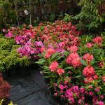 Różaneczniki, azalie, choiny kanadyjskie, berberysy