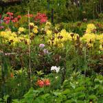 Azalie – żółte i pomarańczowe kwiaty, oraz ciemnofioletowe pąki azali w szkółce drzew i krzewów