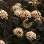 Pęcherznica Diabolo – kremowobiałe kwiaty pęcherznicy Diabolo, w baldachowatych, półkulistych kwiatostanach mocno kontrastujące z listowiem