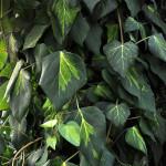 Bluszcz Sulphur Heart - efektywne, gładkie liście bluszczu z centralną częścią blaszki liściowej ze smugami w kolorze od biało-żółtego poprzez jasną do ciemnej zieleni