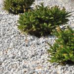 Świerki miniaturowe - grupa świerków miniaturowych rosnących w drobnym żwirku przy ścieżce