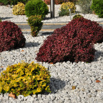Grupa roślin miniaturowych i wolnorosnących – na pierwszym planie żółtawy cyprysik miniaturowy, w tle purpurowe berberysy Admiration oraz małe bukszpany