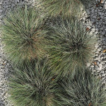 Kostrzewa sina – grupa czterech traw tworzących zwarte kuliste poduszki o niebieskozielonych liściach