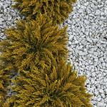 Hebe ochrowata – grupa trzech kulistych Hebe na tle jasnego granitowego żwiru, złotawe listki zebrane we wznoszących się ku górze pędach
