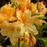 Azalia wielkokwiatowa – jasnożółte kwiaty oraz pomarańczowe pąki azalii zebrane u szczytu pojedynczej łodygi