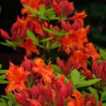 Azalia Fireball – ciemnoczerwone kwiaty i pąki azali Fireball, z lekkim pomarańczowym odcieniem, szeroko otwarte, z płatkami częściowo odgiętymi do tyłu, zebrane po około 10 sztuk w efektowne, kuliste kwiatostany