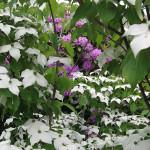 Dereń Cousa – na pierwszym planie bogactwo drobnych białych kwiatków przeplatanych zielonymi liśćmi derenia Cousa, w tle jasnofioletowe kwiaty rododendrona Catawbiense Grandiflorum
